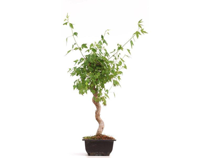 Acer buergerianum, 38 cm, ± 12 jaar oud
