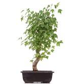 Acer buergerianum, 43 cm, ± 12 jaar oud