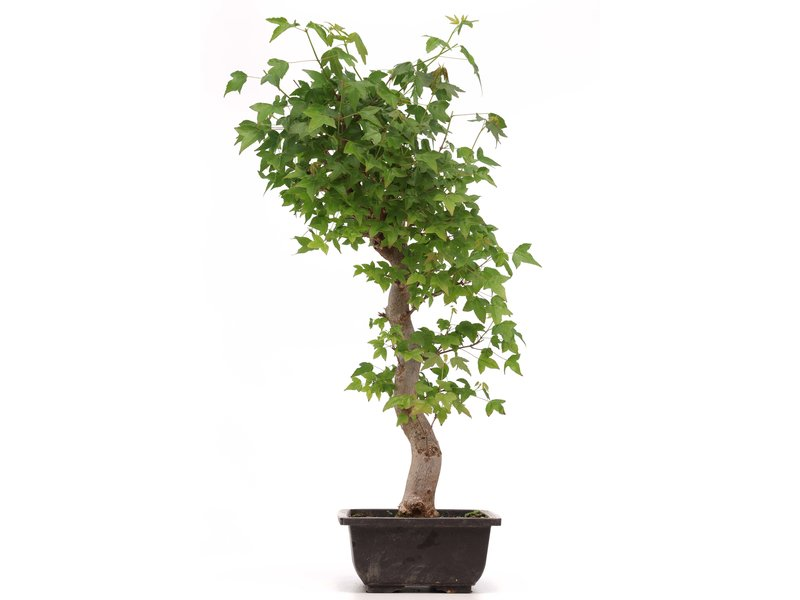 Acer buergerianum, 49 cm, ± 12 jaar oud