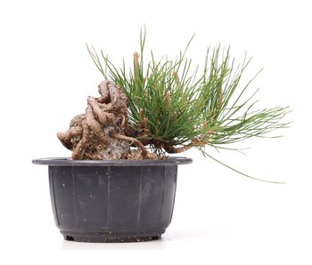 Pinus thunbergii, 8 cm, ± 18 años