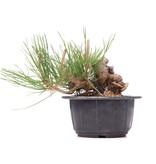 Pinus thunbergii, 8 cm, ± 18 jaar oud