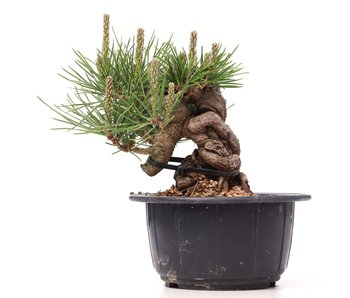 Pinus thunbergii, 14 cm, ± 18 años