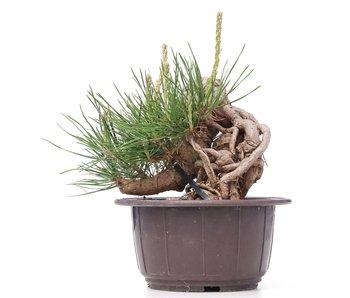 Pinus thunbergii, 12 cm, ± 18 años