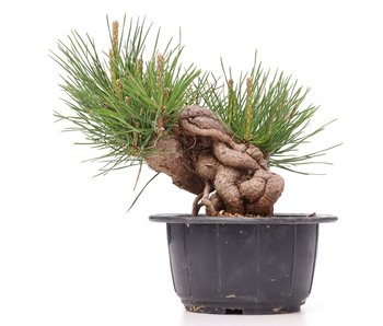 Pinus thunbergii, 15 cm, ± 18 años
