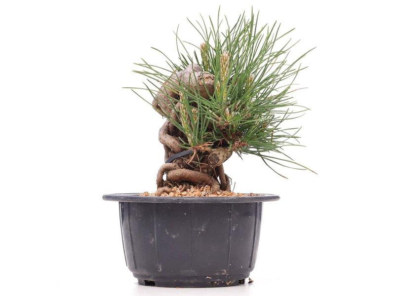 Pinus thunbergii, 13 cm, ± 18 jaar oud