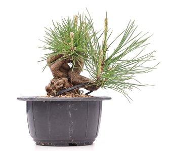 Pinus thunbergii, 11 cm, ± 18 años