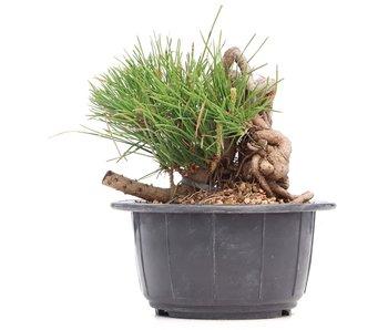 Pinus thunbergii, 10 cm, ± 18 jaar oud