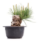 Pinus thunbergii, 11 cm, ± 18 jaar oud