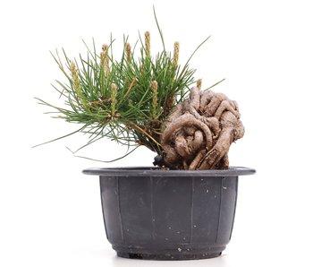 Pinus thunbergii, 9 cm, ± 18 años
