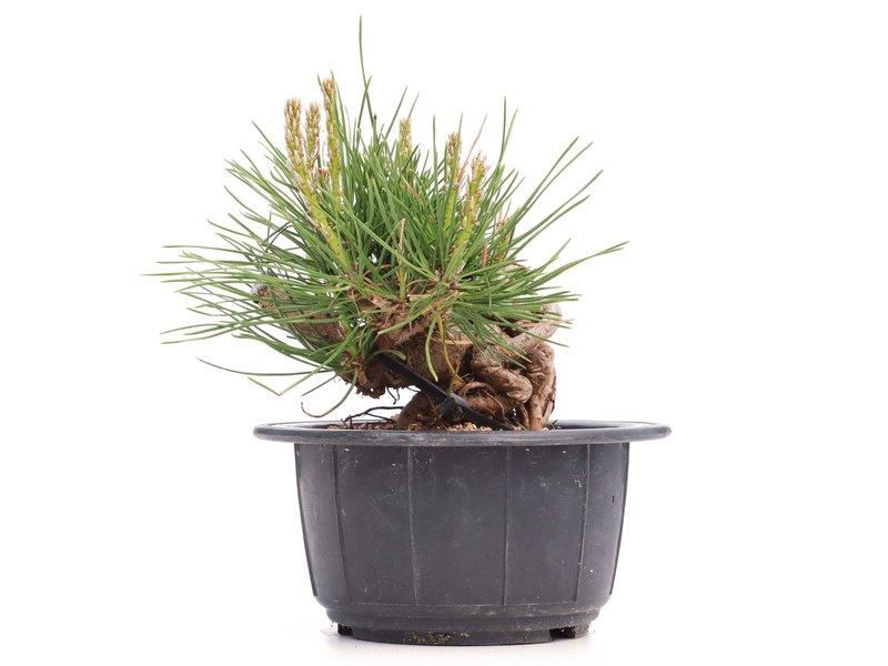 Pinus thunbergii, 9 cm, ± 18 jaar oud