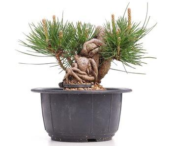 Pinus thunbergii, 10 cm, ± 18 años