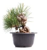 Pinus thunbergii, 14 cm, ± 18 jaar oud
