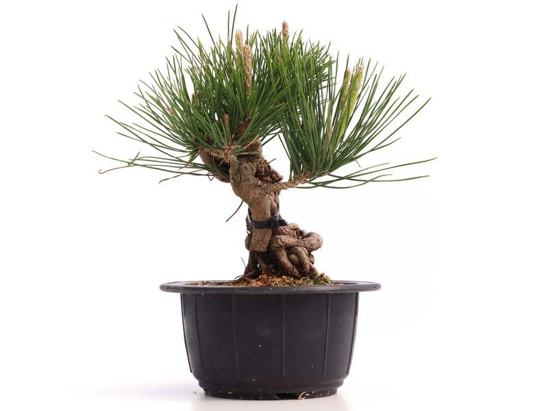 Pinus thunbergii, 16 cm, ± 18 jaar oud