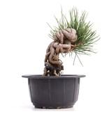 Pinus thunbergii, 15 cm, ± 18 jaar oud