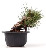 Pinus thunbergii, 12 cm, ± 18 jaar oud