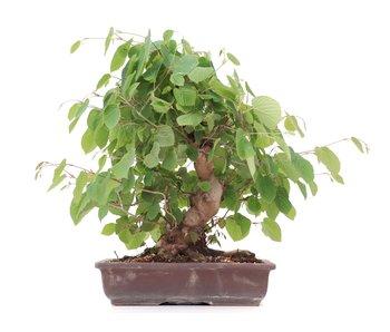 Corylopsis spicata, 41 cm, ± 20 jaar oud