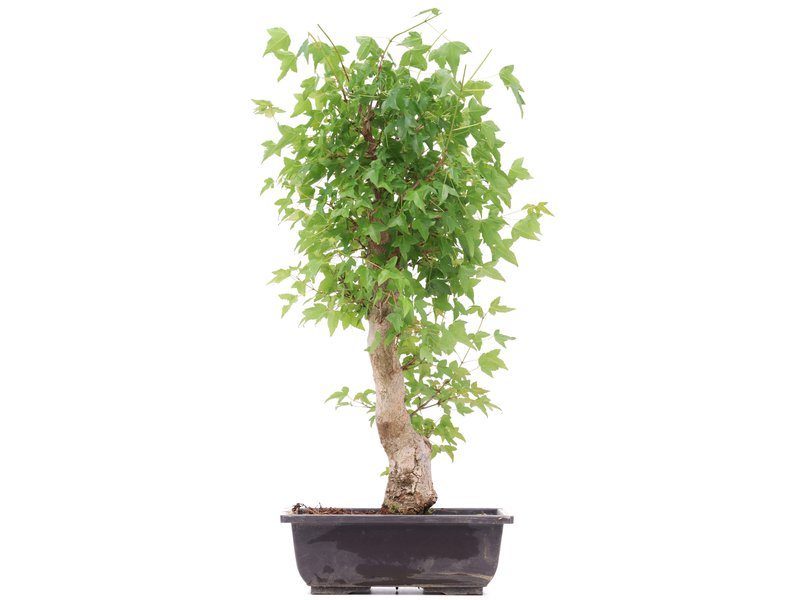 Acer buergerianum, 46 cm, ± 12 years old
