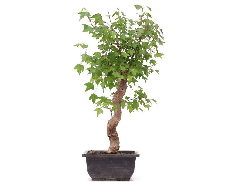 Acer buergerianum, 40 cm, ± 12 jaar oud