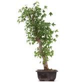 Acer buergerianum, 50 cm, ± 12 jaar oud