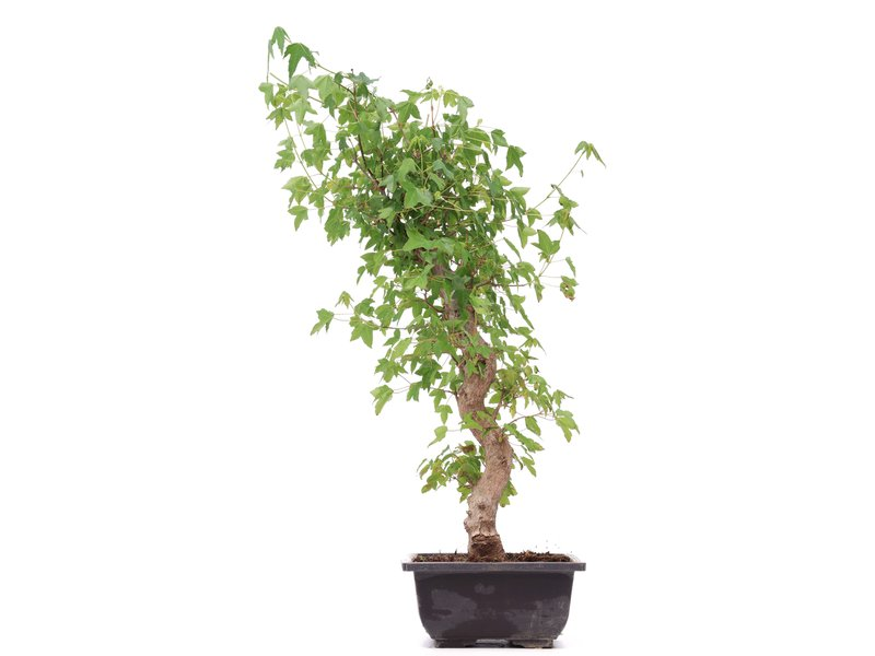 Acer buergerianum, 45 cm, ± 12 jaar oud