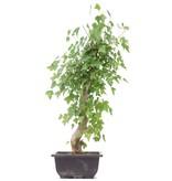 Acer buergerianum, 39 cm, ± 12 jaar oud