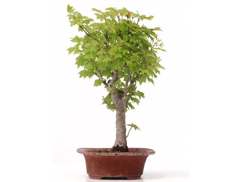 Acer buergerianum Miyasama, 40 cm, ± 15 jaar oud
