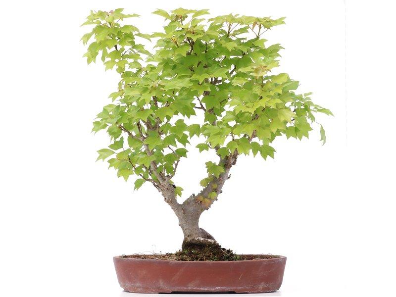 Acer buergerianum Miyasama, 37 cm, ± 15 jaar oud