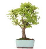 Acer buergerianum Miyasama, 36 cm, ± 15 jaar oud