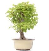 Acer buergerianum Miyasama, 41 cm, ± 15 jaar oud