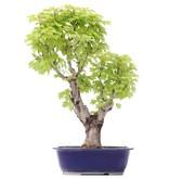 Acer buergerianum Miyasama, 50 cm, ± 15 jaar oud