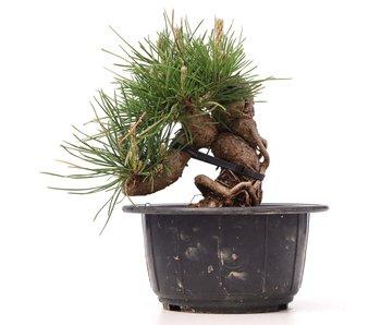 Pinus thunbergii, 13 cm, ± 18 años