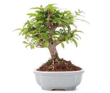 Punica granatum, 11 cm, ± 8 years old