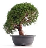 Juniperus chinensis Kishu, 30 cm, ± 18 jaar