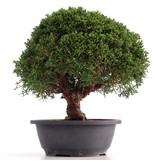 Juniperus chinensis Kishu, 28 cm, ± 18 jaar