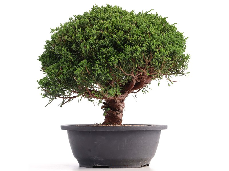 Juniperus chinensis Kishu, 24 cm, ± 18 jaar