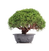 Juniperus chinensis Kishu, 25 cm, ± 18 jaar