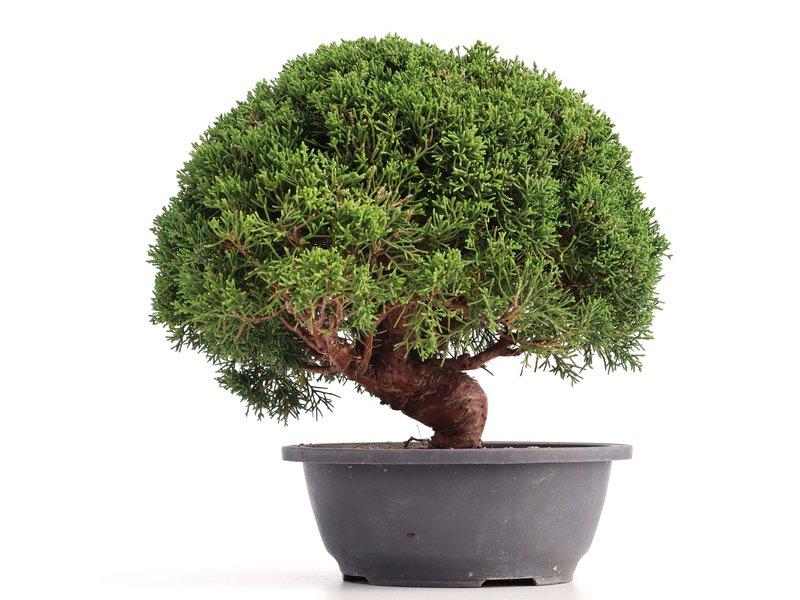 Juniperus chinensis Kishu, 26 cm, ± 18 jaar oud