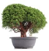 Juniperus chinensis Kishu, 27 cm, ± 18 jaar