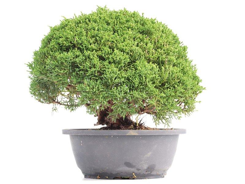 Juniperus chinensis Kishu, 20 cm, ± 18 jaar