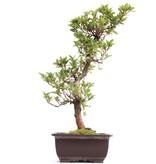 Rhododendron indicum, 42 cm, ± 12 jaar oud