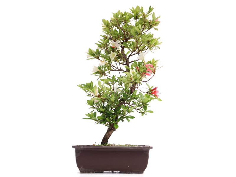 Rhododendron indicum, 45 cm, ± 12 jaar oud, met witte en roze bloemen