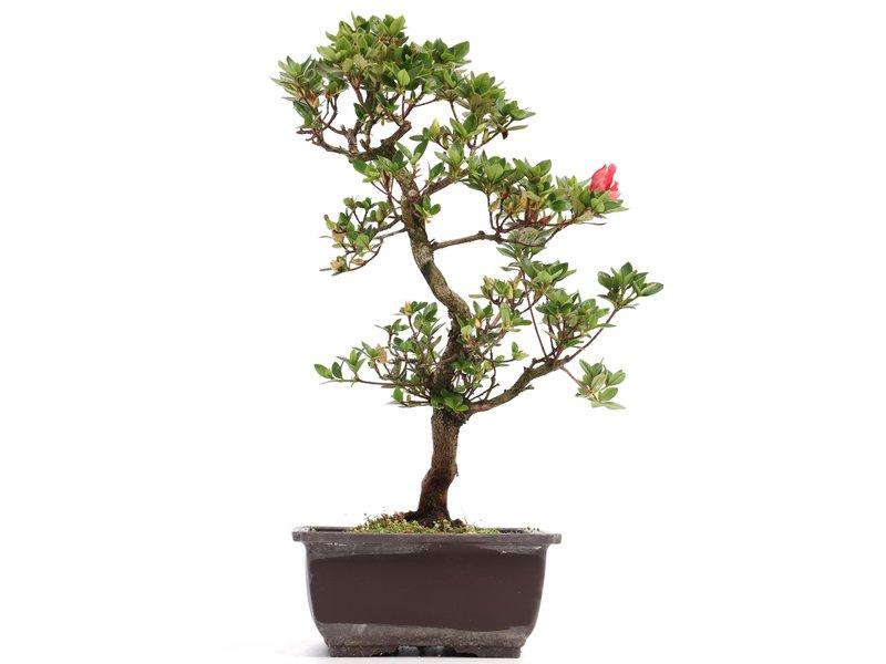 Rhododendron indicum, 37 cm, ± 12 jaar oud, met roze bloemen