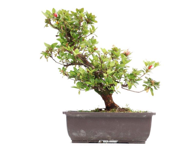 Rhododendron indicum, 30 cm, ± 12 jaar oud, met witte en roze bloemen