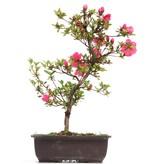 Rhododendron indicum, 42 cm, ± 12 jaar oud, met roze bloemen