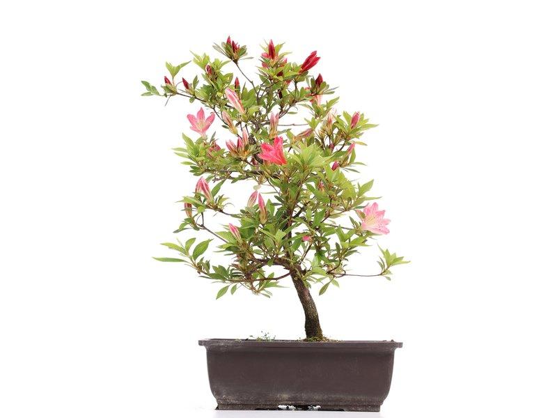 Rhododendron indicum, 40 cm, ± 12 jaar oud, met roze bloemen