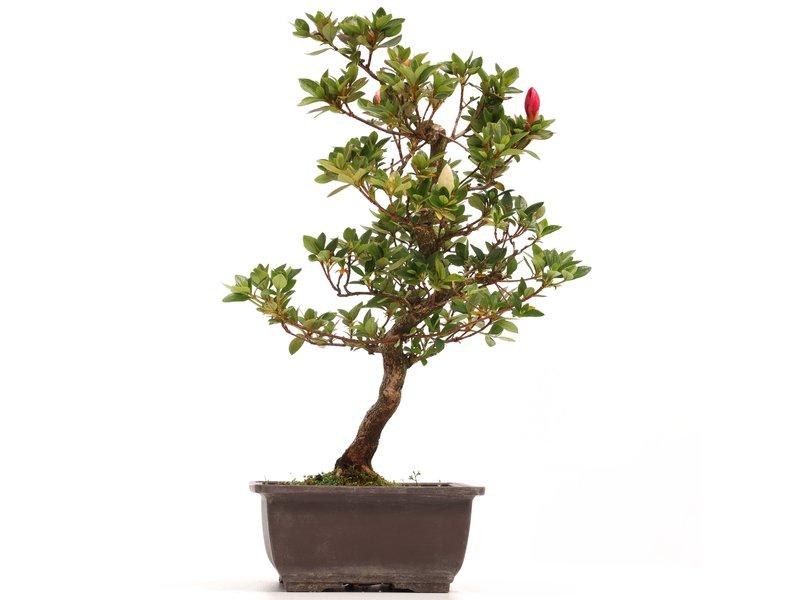 Rhododendron indicum, 39 cm, ± 12 jaar oud, met witte en roze bloemen