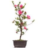 Rhododendron indicum, 51 cm, ± 12 jaar oud, met roze bloemen