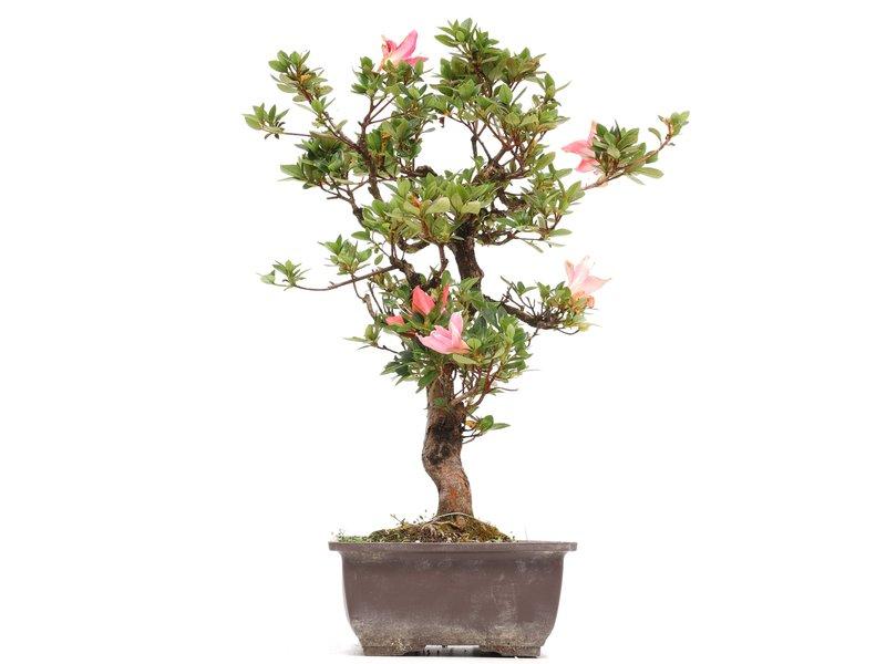 Rhododendron indicum, 43 cm, ± 12 jaar oud, met roze bloemen