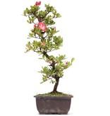 Rhododendron indicum, 44 cm, ± 12 jaar oud, met roze bloemen met een witte kern