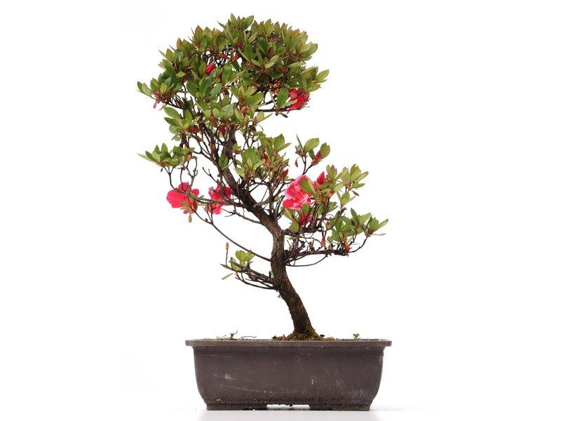 Rhododendron indicum, 42 cm, ± 12 jaar oud, met roze multicolor bloemen